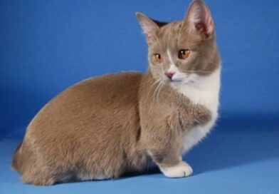Манчкин (Munchkin cat)