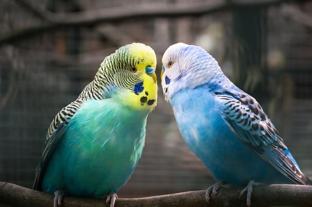 Попугайчик волнистый