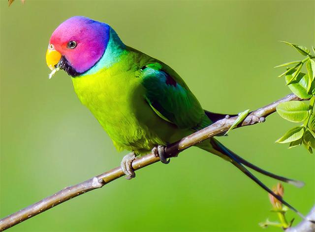 Попугай сливоголовый