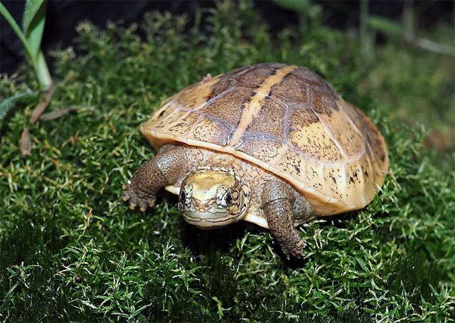 Черепаха индийская шиповатая