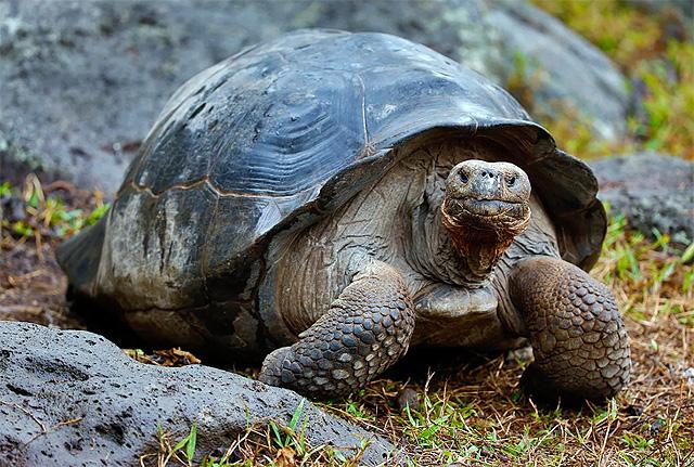 Черепаха калимантанская (малазийская гигантская)