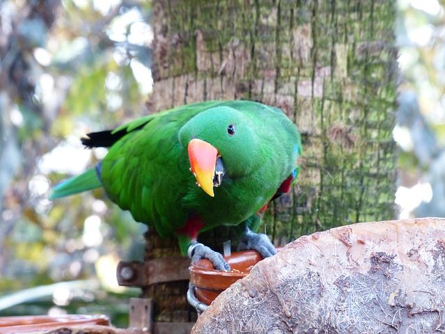 Попугай благородный зелено-красный