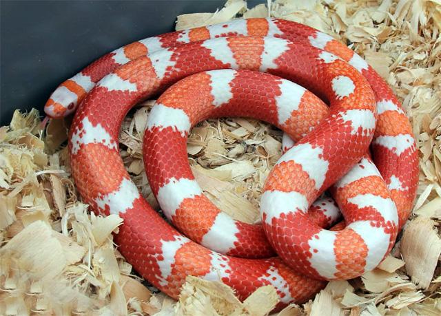 Змея молочная аннулата