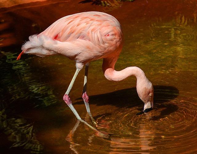 Фламинго чилийский