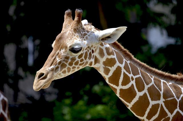 Жираф сетчатый