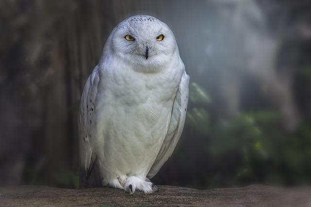 Сова белая