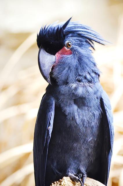Какаду чёрный