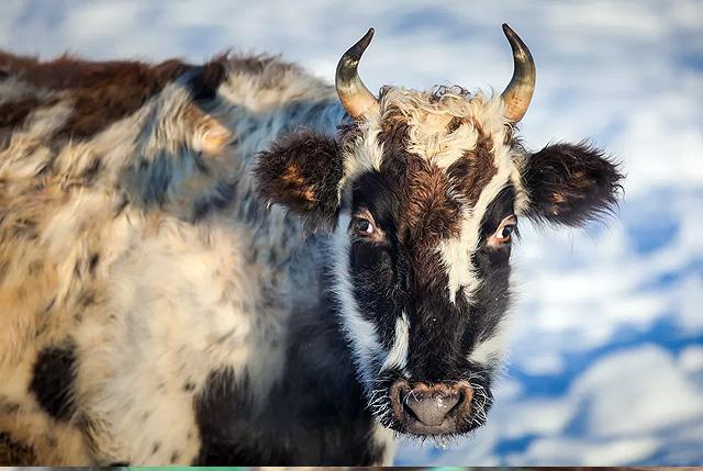 Скот домашний (якутская аборигенная порода)