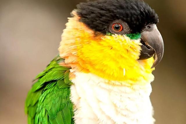 Попугай черноголовый белобрюхий