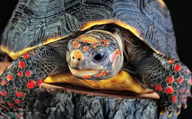 Черепаха красноногая (угольная)