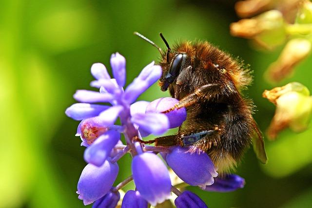 Мохнатый шмель - насекомое. Образ жизни и описание.
