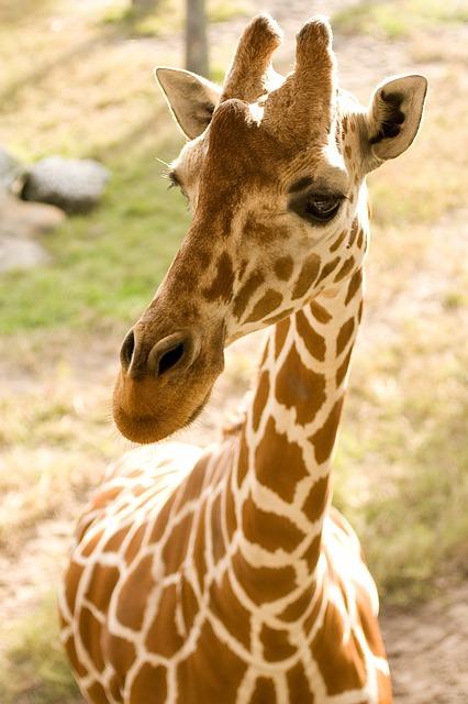Веб камера жирафа Эйприл