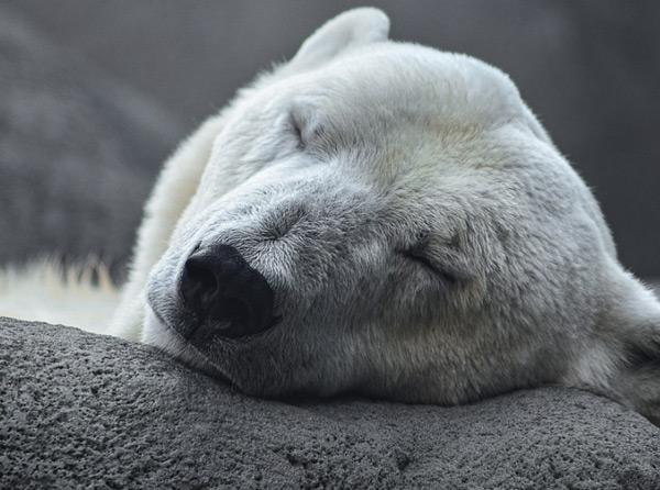 Веб камера в вольере белых медведей (Дания)