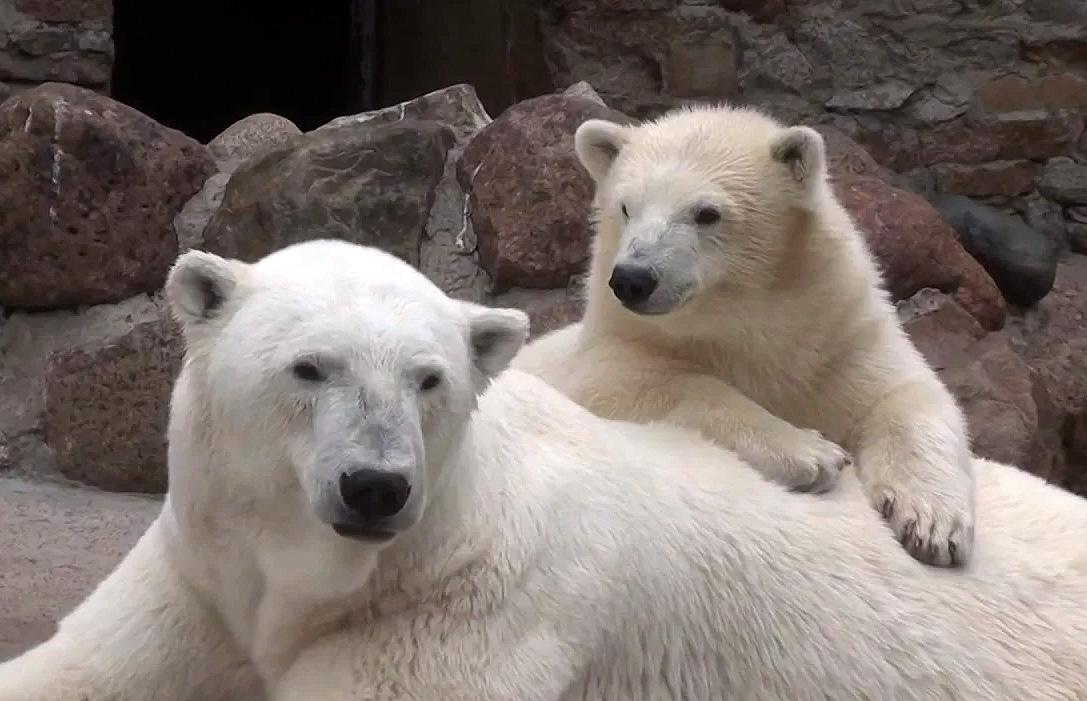 Символом Ленинградского зоопарка в Санкт-Петербурге является белый медведь