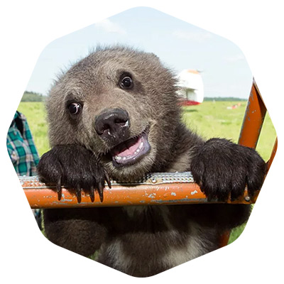 Медведь Мансур онлайн трансляция